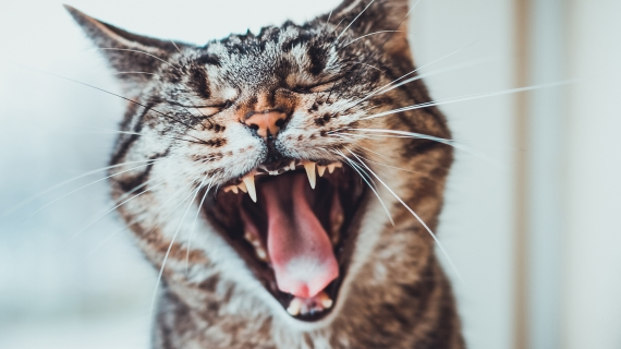 brush my cat's teeth